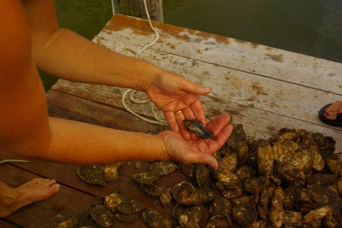Oyster floats provide habitat for wildlife. In addition to this small fish called a Blenny, we find Black Fingered Mud Crab, White Fingered Mud Cab, Goby, Skilletfish, American Eel, Annelid Worm, Muscles, and Barnacles,